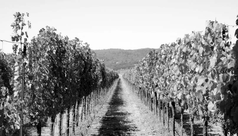 B&W Vineyard_resized